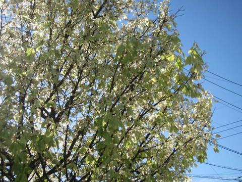 ウナギ屋の木.JPG