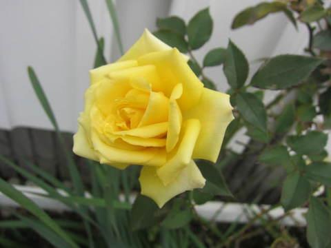 クリニックのバラ.JPG
