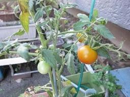 トマト・1.JPG