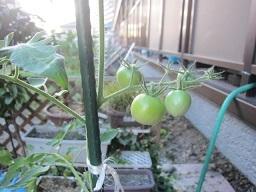 トマト・2.JPG