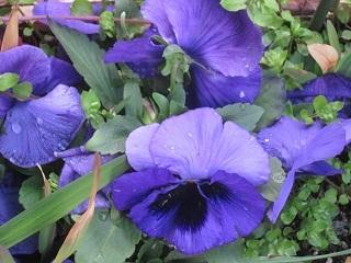 ビオラ・紫.JPG
