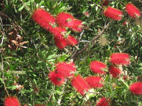 ブラシの花・1.JPG