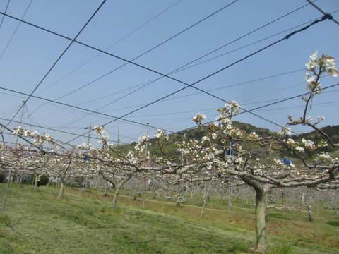 リンゴの花.JPG