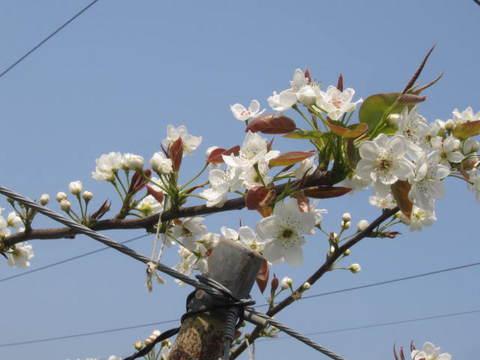 リンゴの花・1.JPG