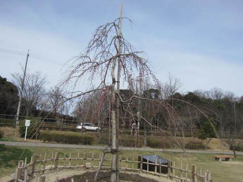 三春滝桜.JPG