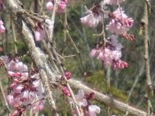 三春滝桜・1.JPG