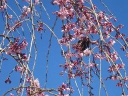三春滝桜・2.JPG