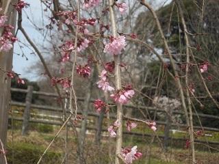 三春滝桜・3.JPG