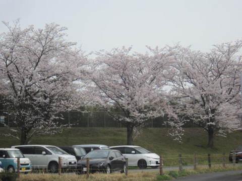 今池サクラ‣2.JPG