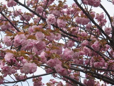八重桜・7.JPG