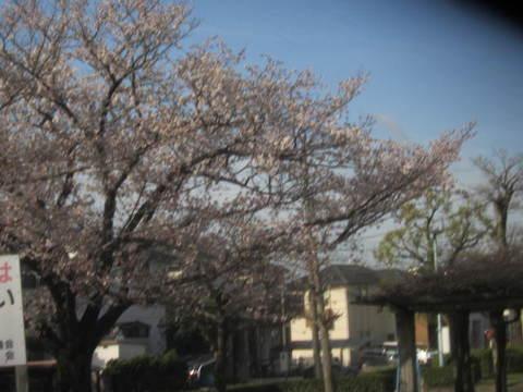 公園の桜.JPG