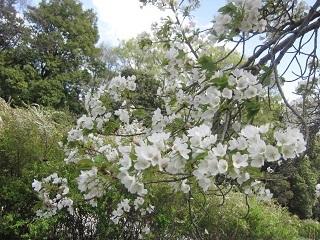 公園山桜・1.JPG