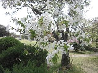 公園山桜・2.JPG