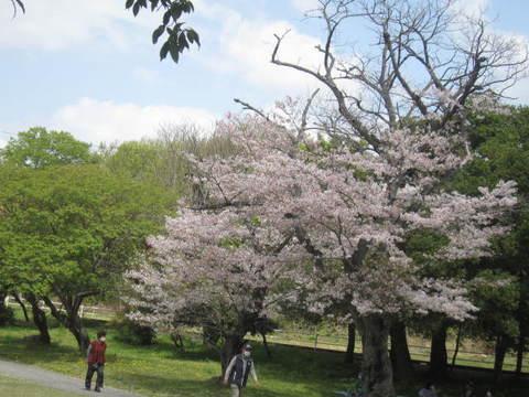 公園桜.JPG