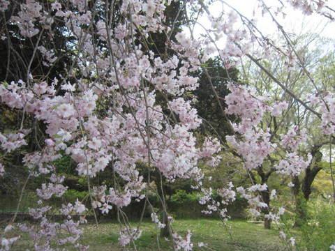 公園桜・1.JPG