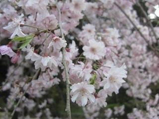 公園桜・2.JPG