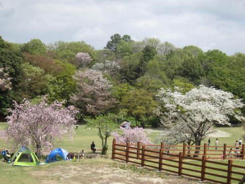 公園桜・9.JPG