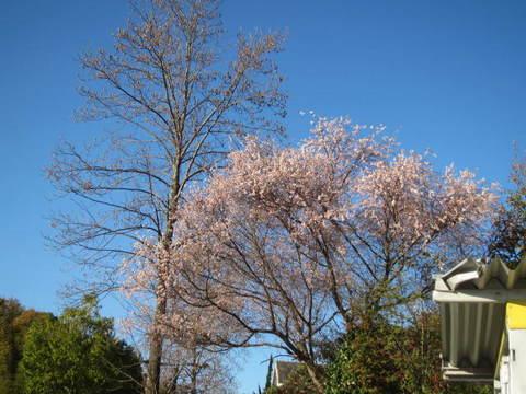 四季桜.JPG
