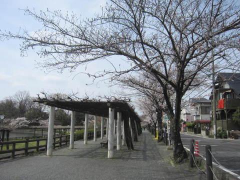 城山さくら・2.JPG
