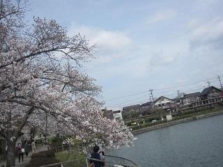 城山・池さくら1.JPG