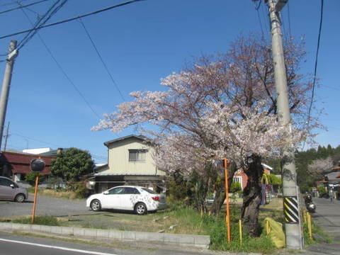 城山公園桜・1.JPG