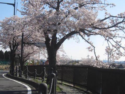 城山池・さくら12.JPG