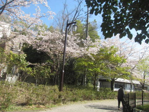 城山池・さくら5.JPG