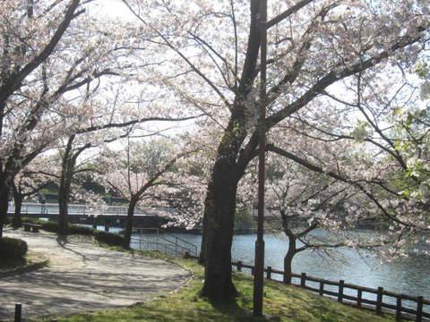 城山池・さくら6.JPG