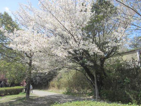 山桜・2.JPG