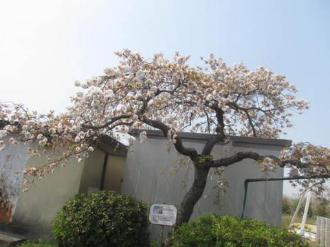 山桜枝垂れ.JPG
