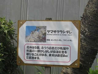 山桜枝垂れ標.JPG