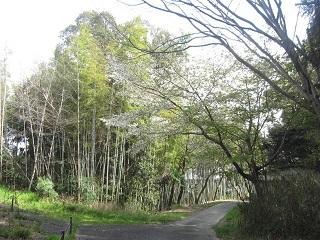 山辺の散歩道・竹藪.JPG