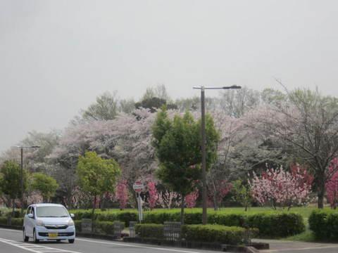 山辺の桜.JPG