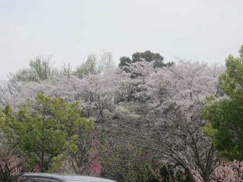 山辺の桜・1.JPG