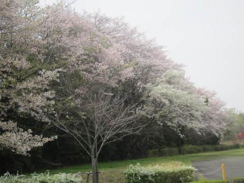 山辺の桜・4.JPG