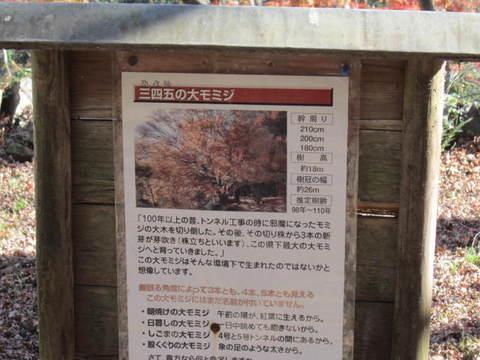 帰路・三四五の大モミジ標.JPG