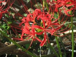 庭のヒガンバナ・2.JPG