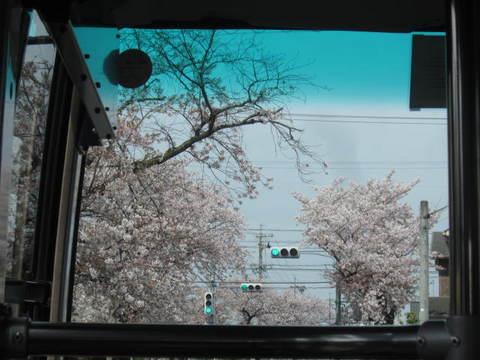 旭ヶ丘の桜.JPG