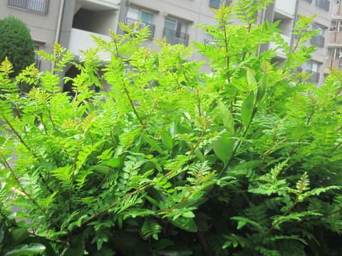 木の芽.JPG