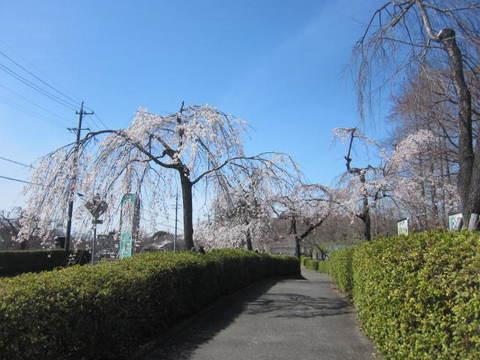 東谷山・さくら.JPG