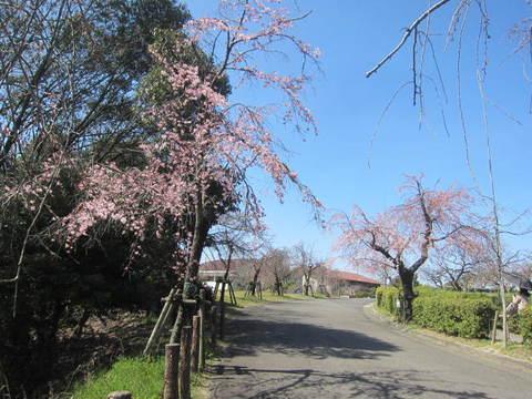 東谷山・枝垂桜.JPG