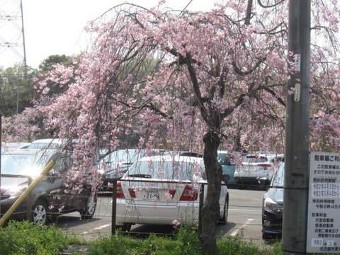枝垂れ桜・1.JPG