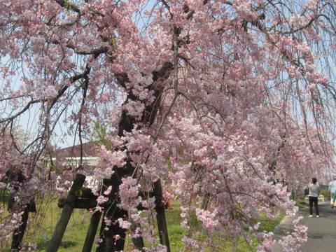 枝垂れ桜・2.JPG