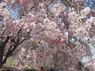 枝垂れ桜・3.JPG