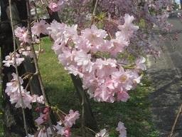枝垂れ桜・3アップ.JPG