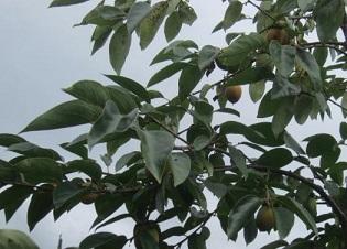 柿・1.JPG