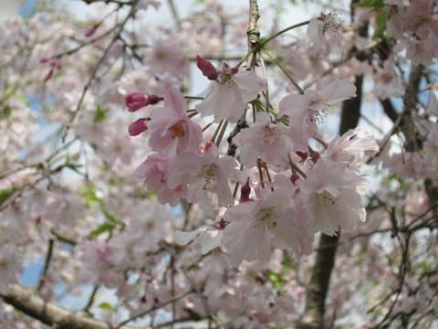 桜・3.JPG