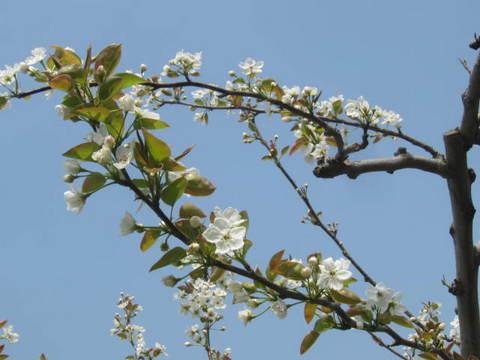 梨の花・1.JPG