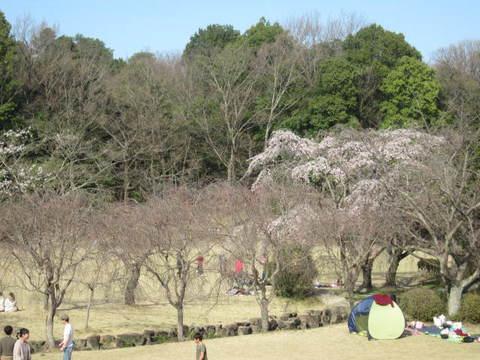 森林公園・さくら1.JPG
