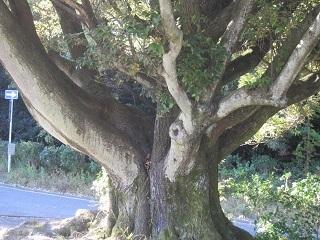 森林公園・大木.JPG